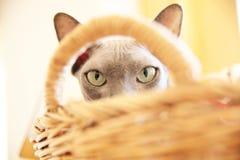 Άτριχη γάτα Sphynx στο σχέδιο κατοικίδιων ζώων υποβάθρου καλαθιών Στοκ Φωτογραφίες