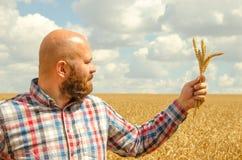 Άτριχος αγρότης με τη γενειάδα που επιθεωρεί τον ώριμο χρυσό τομέα σίτου την ηλιόλουστη ημέρα στοκ φωτογραφία