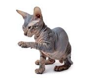άτριχο γατάκι στοκ εικόνες