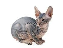 άτριχο γατάκι στοκ εικόνα με δικαίωμα ελεύθερης χρήσης