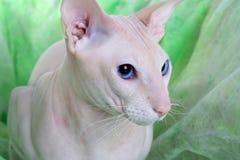 άτριχο peterbald γατών στοκ φωτογραφίες με δικαίωμα ελεύθερης χρήσης
