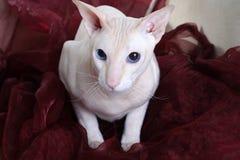 άτριχο peterbald γατών στοκ φωτογραφίες