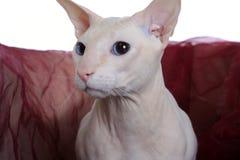 άτριχο peterbald γατών στοκ εικόνες
