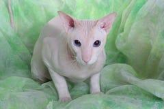 άτριχο peterbald γατών στοκ εικόνες με δικαίωμα ελεύθερης χρήσης