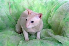 άτριχο peterbald γατών στοκ εικόνα