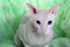 άτριχο peterbald γατών στοκ φωτογραφία με δικαίωμα ελεύθερης χρήσης