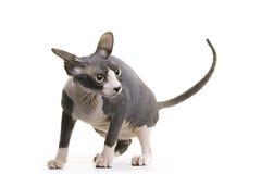 άτριχο sphynx γατών Στοκ φωτογραφία με δικαίωμα ελεύθερης χρήσης