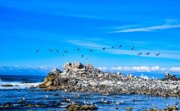 Άφθονα θαλασσοπούλια κατά μήκος του Drive 17 μιλι'ου κοντά στη Carmel, ασβέστιο Στοκ Εικόνες
