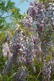 Άφθονες ανθίσεις wisteria ανοικτές στην ηλιοφάνεια πρόσφατος-ελατηρίων Στοκ Εικόνες