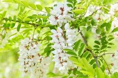 Άφθονος ανθίζοντας κλάδος ακακιών του pseudoacacia Robinia στοκ εικόνα με δικαίωμα ελεύθερης χρήσης