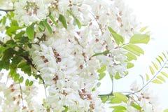 Άφθονος ανθίζοντας κλάδος ακακιών του pseudoacacia Robinia στοκ εικόνες