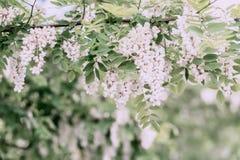 Άφθονος ανθίζοντας κλάδος ακακιών του pseudoacacia Robinia, ψεύτικη ακακία, μαύρη ακρίδα, ηλιόλουστη ημέρα Νέκταρ για την προσφορ στοκ εικόνες με δικαίωμα ελεύθερης χρήσης