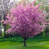 Άφθονος ανθίζοντας λίγο δέντρο σέρρυ στο πλήρες ρόδινο άνθος άνοιξη στοκ εικόνα