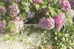 Άφθονος μεθύστακας που ανθίζει το ρόδινο πορφυρό hydrangea στα άσπρα δικτυωτά βάζα Ρομαντικό ελαφρύ θερινό υπόβαθρο με το bokeh στοκ φωτογραφία