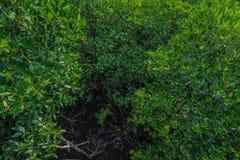Άφθονο μαγγρόβιο, Ταϊλάνδη Στοκ φωτογραφία με δικαίωμα ελεύθερης χρήσης
