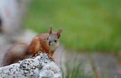 Άφοβος σκίουρος μωρών που στέκεται στην πέτρα Στοκ Φωτογραφίες