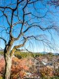 Άφυλλο δέντρο το φθινόπωρο στο Κιότο, Ιαπωνία Στοκ εικόνα με δικαίωμα ελεύθερης χρήσης
