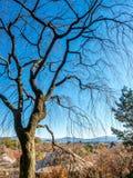 Άφυλλο δέντρο το φθινόπωρο στο Κιότο, Ιαπωνία Στοκ Φωτογραφίες