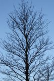 άφυλλο δέντρο Στοκ Φωτογραφίες