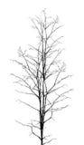 Άφυλλο δέντρο Στοκ Εικόνα
