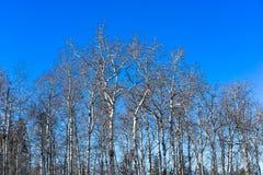 Άφυλλα δέντρα λευκών Στοκ εικόνα με δικαίωμα ελεύθερης χρήσης