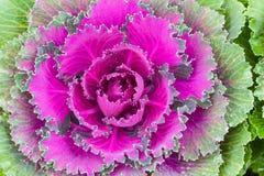 λάχανο διακοσμητικό Στοκ φωτογραφία με δικαίωμα ελεύθερης χρήσης