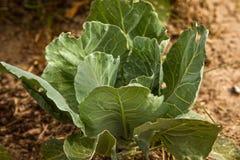 λάχανο οργανικό Στοκ Εικόνες