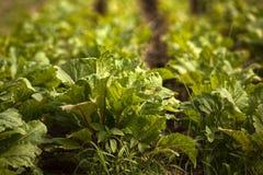 λάχανο οργανικό Στοκ φωτογραφία με δικαίωμα ελεύθερης χρήσης