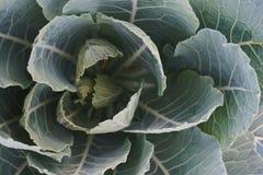λάχανο οργανικό Στοκ Φωτογραφία