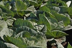 λάχανο που βάζει το λευκό Στοκ φωτογραφία με δικαίωμα ελεύθερης χρήσης