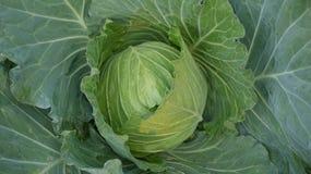 λάχανο φρέσκο Στοκ Εικόνες