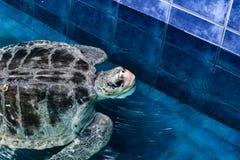 Άχρωμη χελώνα θάλασσας στοκ φωτογραφίες με δικαίωμα ελεύθερης χρήσης