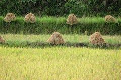 Άχυρα ρυζιού Στοκ Εικόνες