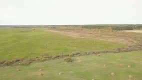 Άχυρο θυμωνιών χόρτου στον τομέα, μετά από να συγκομίσει το σίτο Τοπίο θερινών αγροκτημάτων με τις θυμωνιές χόρτου Εναέριο μήκος  απόθεμα βίντεο