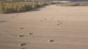 Άχυρο θυμωνιών χόρτου στον τομέα, μετά από να συγκομίσει το σίτο Αγροτικό τοπίο φθινοπώρου με τις θυμωνιές χόρτου Εναέριο μήκος σ απόθεμα βίντεο