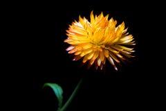 άχυρο λουλουδιών Στοκ εικόνα με δικαίωμα ελεύθερης χρήσης