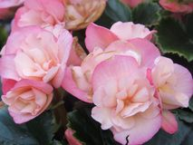 Άλλα ρόδινα τριαντάφυλλα Στοκ Εικόνες