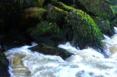 Άλγη θάλασσας στους βράχους με τα κύματα Στοκ Φωτογραφία