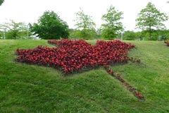 Άδεια σφενδάμνου του Καναδά χλωρίδας που γίνεται από κόκκινο Begonia Στοκ εικόνες με δικαίωμα ελεύθερης χρήσης