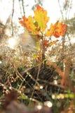 Άδεια φθινοπώρου λίγο δέντρο Στοκ Φωτογραφία
