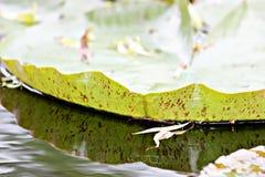 Άδεια Waterlily Στοκ φωτογραφίες με δικαίωμα ελεύθερης χρήσης