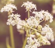Άλεσε παλαιότερος ένα Aegopodium Podagraria αγγλικό Masterwort Στοκ εικόνα με δικαίωμα ελεύθερης χρήσης
