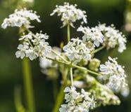 Άλεσε το παλαιότερο Β Aegopodium Podagraria αγγλικό Masterwort Στοκ φωτογραφίες με δικαίωμα ελεύθερης χρήσης