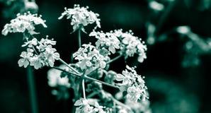 Άλεσε το παλαιότερο Γ Aegopodium Podagraria αγγλικό Masterwort Στοκ Φωτογραφία