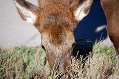 Άλκες άγριας φύσης που βόσκουν στα δύσκολα βουνά του Κολοράντο πάρκων Estes χλόης Στοκ Φωτογραφία