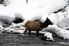 Άλκες αγελάδων που στέκονται στον κρύο χιονώδη ποταμό Στοκ εικόνα με δικαίωμα ελεύθερης χρήσης
