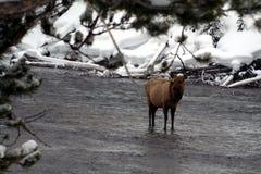 Άλκες αγελάδων στο χιονώδη ποταμό Στοκ Φωτογραφία