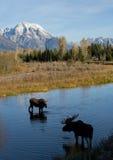 Άλκες αγελάδων του Bull που φλερτάρουν στο νερό κάτω από το βουνό στοκ εικόνες