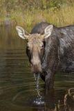 Άλκες αγελάδων Στοκ φωτογραφίες με δικαίωμα ελεύθερης χρήσης