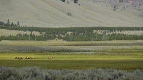 Άλκες που βόσκουν σε Yellowstone απόθεμα βίντεο